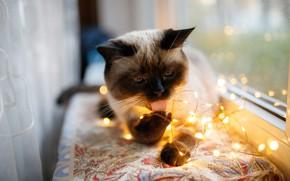 Picture cat, cat, look, light, window, garland, light bulb, Siamese