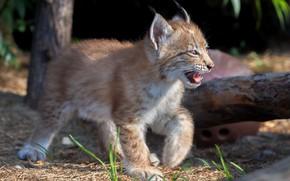 Picture baby, cub, kitty, lynx, wild cat, a small lynx, Oleg Bogdanov