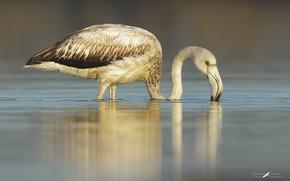 Picture lake, bird, Flamingo