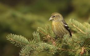 Picture branches, background, bird, needles, Klest, Klest