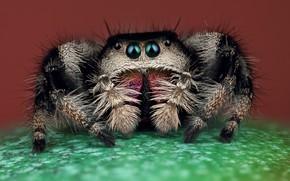 Picture eyes, macro, pose, green, background, black, legs, spider, hairy, brown, jumper, jumper, spider, sakunik, the …