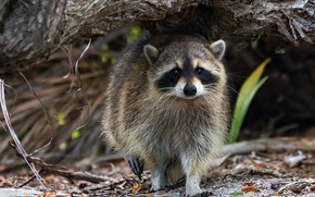 Picture look, face, leaves, nature, pose, background, tree, raccoon, walk, bokeh