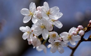 Picture flowers, branch, spring, white, Apple, flowering, in bloom