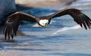 Picture sea, look, flight, nature, bird, wings, eagle, flies, pond, predatory, flying, bald eagle, the scope