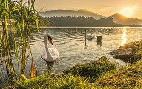 Picture swan, river, landscape, sunset, lake, dawn