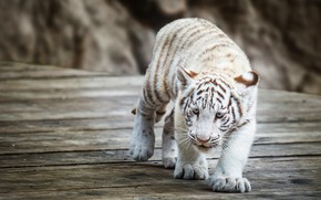 Picture white, look, face, tiger, pose, stones, background, Board, baby, walk, wild cat, zoo, tiger, sneaks, …