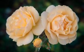 Picture macro, Rosa, roses, petals, Bud, Duo, yellow