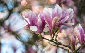 Picture flowers, branches, spring, buds, flowering, bokeh, Magnolia