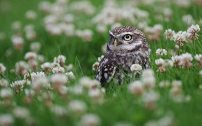 Picture look, flowers, owl, bird, glade, clover, owl, sychik