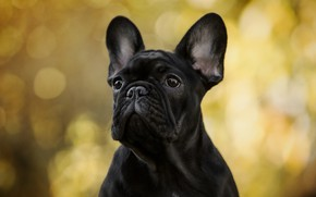Picture autumn, look, light, yellow, background, portrait, dog, black, bulldog, ears, face, bokeh, French bulldog