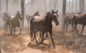 Picture forest, grass, trees, fog, trunks, horses, horse, running, white, a lot, gallop, the herd, the …
