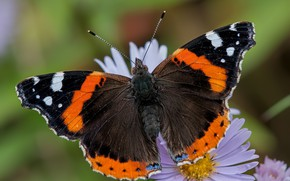 Picture macro, nature, butterfly, black red
