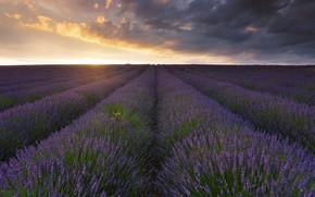 Picture the sky, flowers, lavender, plantation, lavender field