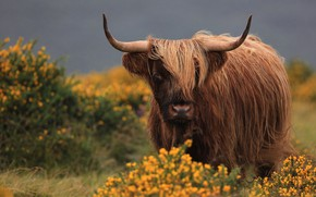 Picture look, face, flowers, nature, background, hairy, horns, brown, mountain, bull, Scottish