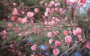 Picture branches, nature, Park, spring, Japan, Sakura, flowering, Shinjuku gyoen