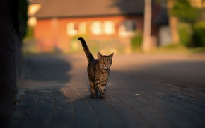 Picture road, cat, cat, house, grey, street, tile, tail, walk, the sidewalk, striped, reveller