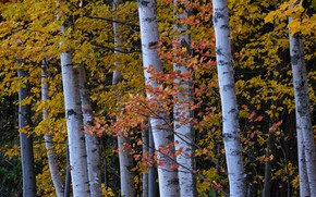 Picture autumn, forest, leaves, trees, branches, trunks, maples