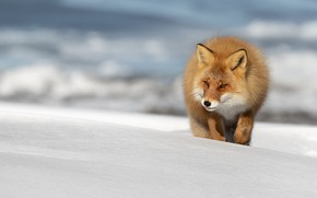 Picture winter, language, snow, nature, pose, Fox, the snow, red, walk, sneaks