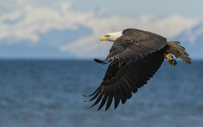 Picture the sky, water, flight, bird, wings, pond, bald eagle