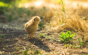 Picture grass, light, yellow, nature, background, bird, spring, baby, straw, chicken, chick, chicken, bokeh, home