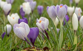Picture drops, glade, spring, crocuses