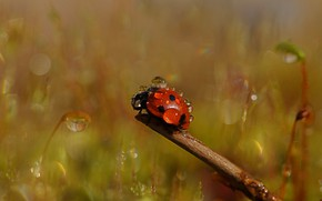 Picture drops, macro, red, nature, Rosa, background, ladybug, beetle, insect, bug, bokeh