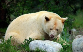Picture white, look, face, nature, pose, stone, bear, the expression, the Kermode, нос воротит