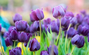 Picture leaves, flowers, beauty, spring, purple, tulips, buds, flowerbed, lilac