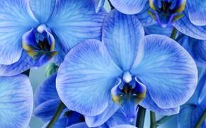 Picture macro, flowers, petals, blue, orchids