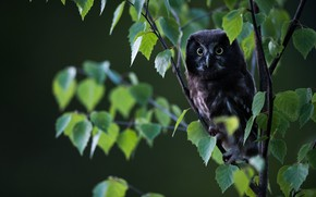 Picture look, leaves, branches, nature, background, tree, owl, bird, foliage, owl