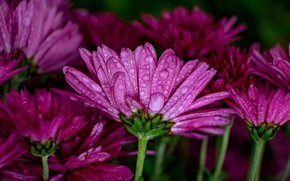 Picture drops, macro, flowers, the dark background, petals, pink, chrysanthemum, lilac, bokeh