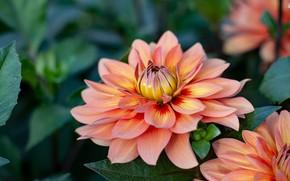 Picture summer, orange, garden, Dahlia