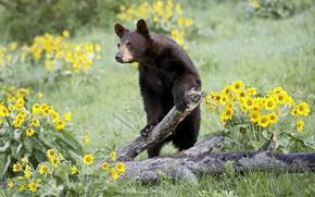 Picture sunflowers, flowers, nature, glade, bear, log, baribal