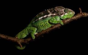 Picture chameleon, branch, black background