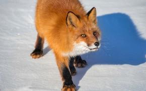 Picture winter, snow, nature, animal, shadow, Fox, Fox