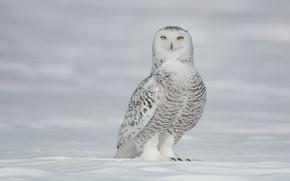 Picture winter, look, snow, pose, owl, bird, the snow, white, light background, polar, snowy owl