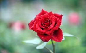 Picture flower, leaves, green, background, rose, garden, Bud, red, scarlet, bokeh