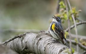 Wallpaper tree, bird, singing