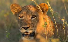Picture grass, look, face, light, portrait, Leo, lioness, lion, young, lion