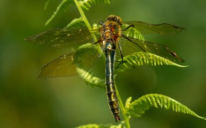 Picture leaves, macro, nature, green, background, dragonfly, insect, wings, fern