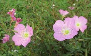 Picture flowers, pink flowers, mallow, Meduzanol ©, Summer 2018