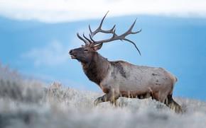 Picture deer, horns, bokeh