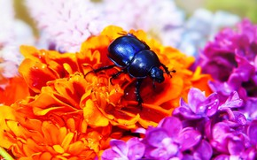 Picture flowers, macro, background, orange, bright, lilac, beetle, insect, black, summer, blue, drops