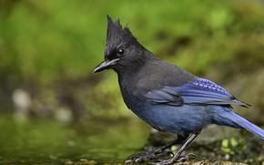 Picture look, nature, bird, bird, crest, blue bird