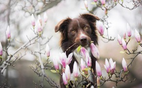 Picture look, face, flowers, branches, nature, background, portrait, dog, spring, garden, pink, flowering, brown, Magnolia, the …