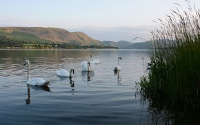 Picture grass, mountains, birds, lake, pond, shore, white, swans, pond, swimming