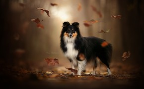 Picture autumn, leaves, dog, bokeh, Sheltie, Shetland Sheepdog