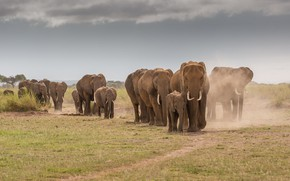 Picture elephants, a lot, the sky, nature, road, go, Savannah, the herd, elephant, field, dust