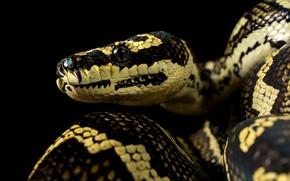 Picture portrait, snake, Python