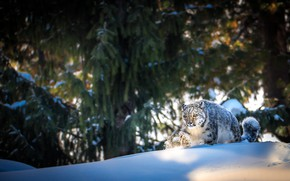 Picture winter, forest, face, light, snow, trees, branches, pose, ate, the snow, pine, IRBIS, snow leopard, …